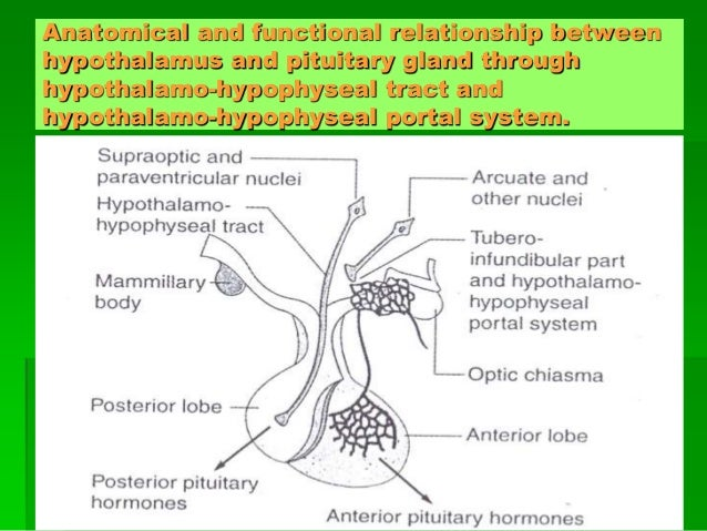 Relationship between hypothalamus and pituitary gland pdf