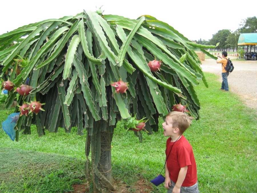 dragon fruit planting instructions