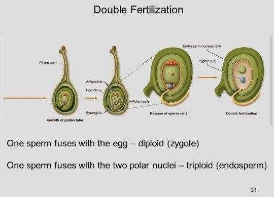 Double fertilization in plants pdf